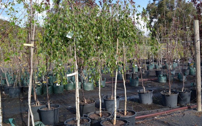 Weeping silver birch lakeside plants nursery for Silver birch trees for small gardens