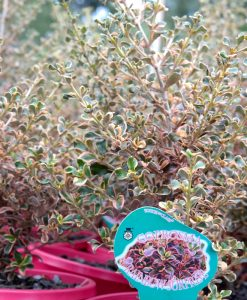 coprosma rainbow surprise