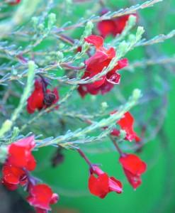 Leschenaultia Scarlet O'Hara