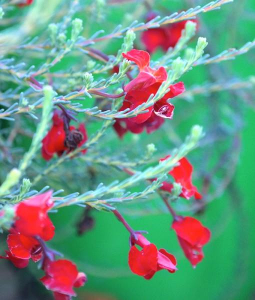 lechenaultia-scarlet-o'hara