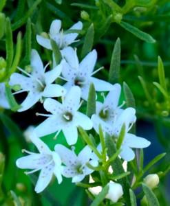 myporum parvifolium fine leaf