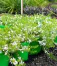 myoporum pots