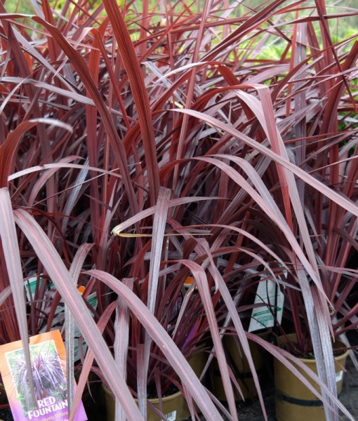 red-fountain-cordyline