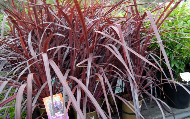 red fountain cordyline