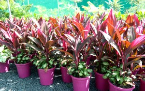 cordyline and syngonium planters