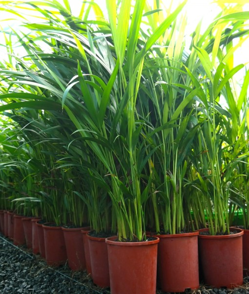 golden-cane-palm