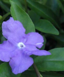 Brunfelsia Flower
