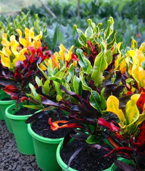 Croton Mammy Lakeside Plants Amp Nursery