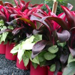 Cordyline Red with Syngonium White Butterfly