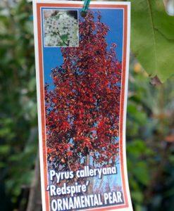 Pyrus Calleryana Redspire