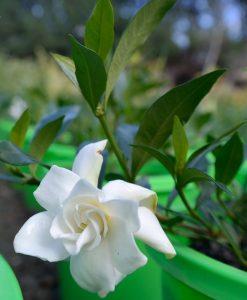 gardenia-radicans