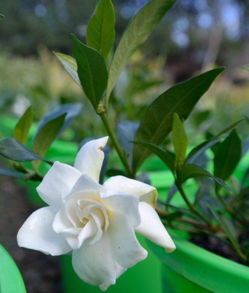 gardenia-radicans-flower