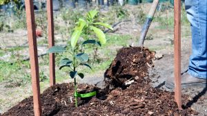Mulch your avocados to keep soil moist