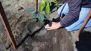 Planted Avocado Make a well