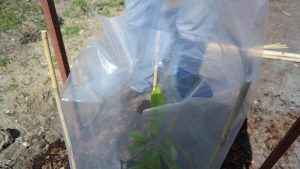 Avocado plastic bag - a mini hothouse