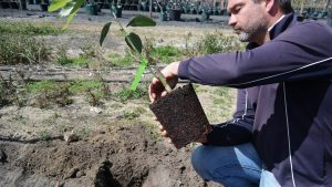 Avocado Tree Planting