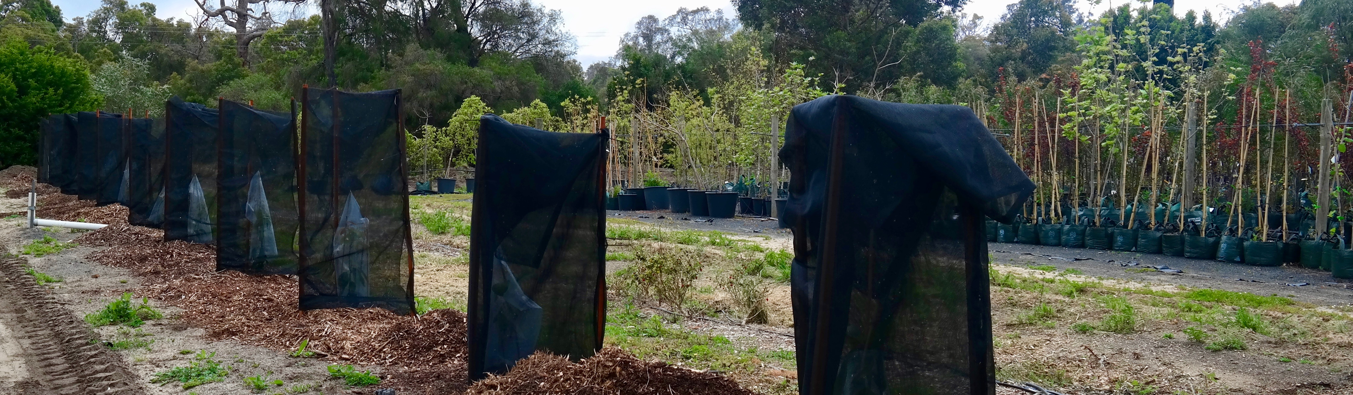 Avocado tree planting a step by step guide by lakeside plants - Fir tree planting instructions a vigorous garden ...