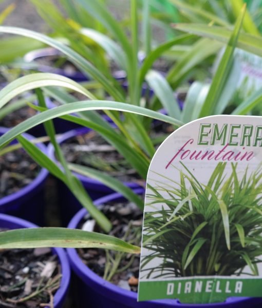 dianella-emerald-fountain