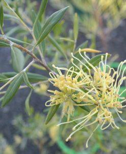 grevillea olivacea yellow