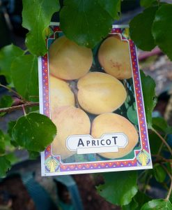 Apricot Blenheim