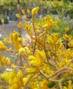 Kangaroo Paw Yellow Gem