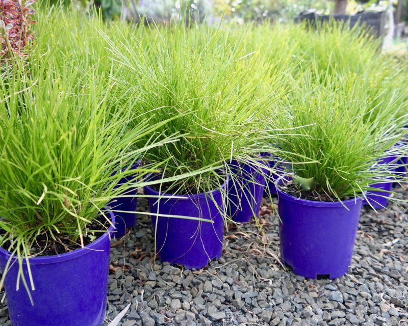 lomandra confertifolia little con