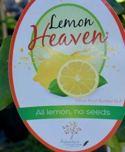 Eureka Lemon Heaven Dwarf