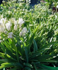 Agapanthus double diamond