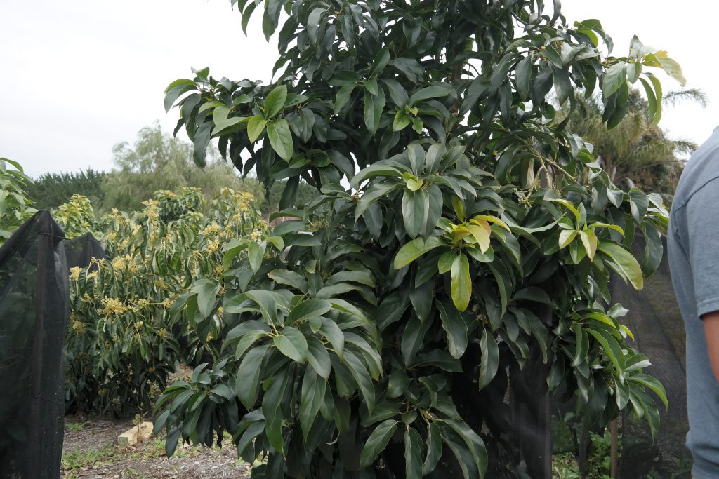 Avocado Tree Planting A Step By Step Guide By Lakeside Plants