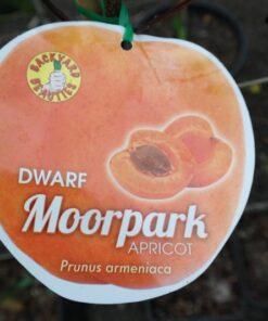 apricot dwarf moorpark