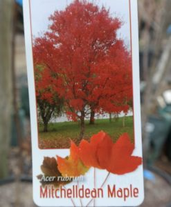 Canadian Maple Mitchelldean Acer