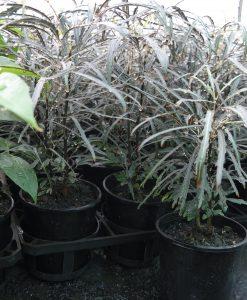 dizygotheca elegantissima - false aralia- schefflera elegantissima - plerandra
