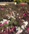 myoporum-parvifolium-purple-leaf