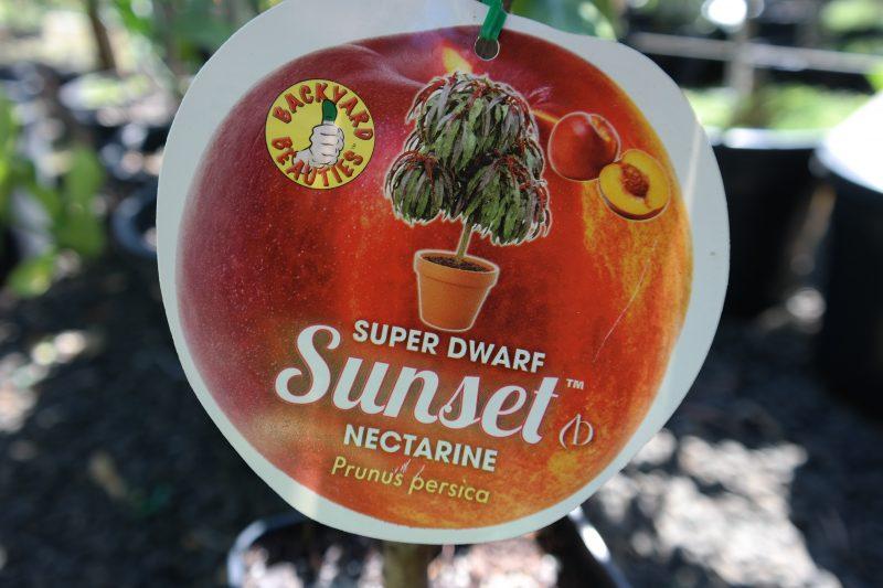 Sunset Nectarine Super Dwarf