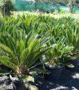 cycas-revoluta-sago-palm