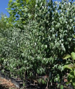 Snow Pear Tree Pyrus Nivalis 33cm pots