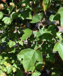 trident-maple