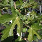 fig-white-adriatic