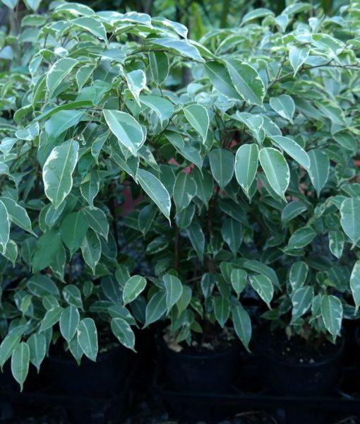 ficus benjamina variegata 112.5