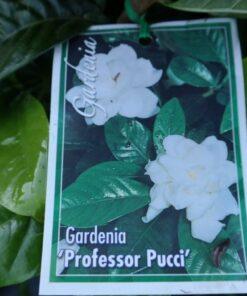Gardenia Professor Pucci