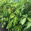 Schefflera amate Dwarf Umbrella Tree