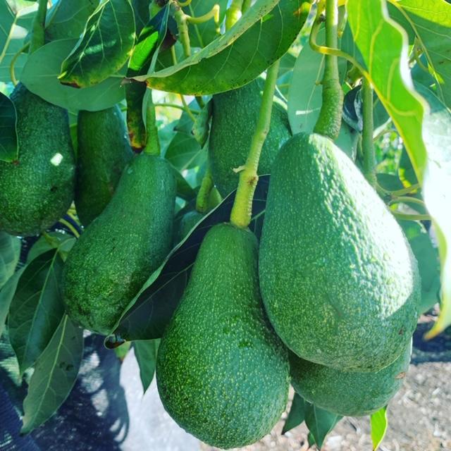 fuerte avocado fruit