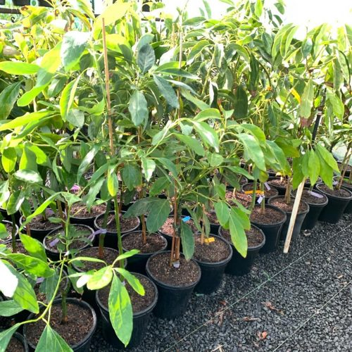 Avocado Trees 25cm