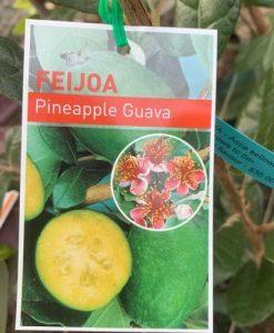 Feijoa Pineapple Guava Acca sellowiana