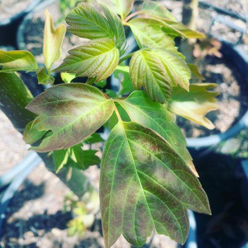 acer negundo Sensation new growth