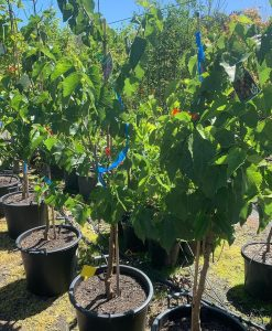 Black English Mulberry 30l
