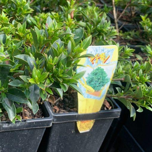 Syzygium Tiny Trev