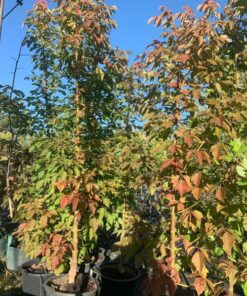 Acer Negundo Sensation Box Elder Maple