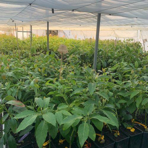 wholesale avocado trees Hass