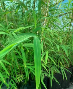 bamboo himalayan weeping